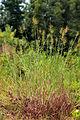 Dichanthelium scoparium 1120325.jpg