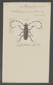 Dicranoderes - Print - Iconographia Zoologica - Special Collections University of Amsterdam - UBAINV0274 033 27 0013.tif