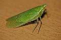 Dictyopharid Planthopper (Aselgeia ramulifera) (16520136699).jpg