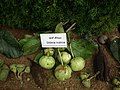 Dillenia indica from Lalbagh flower show Aug 2013 8137.JPG