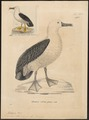Diomedea chlororhyncha - 1700-1880 - Print - Iconographia Zoologica - Special Collections University of Amsterdam - UBA01 IZ17900158.tif