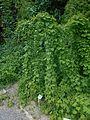 Dioscorea caucasica 2016-05-31 1889.jpg