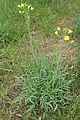 Diplotaxis tenuifolia kz06.jpg