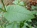 Dipsacus pilosus leaf (15).jpg