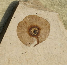 Dipteronia brownii Samara SRIC 01