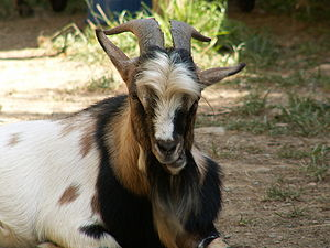 Domestic goat.
