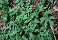 Dorstenia contrajerva 3.jpg