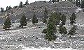 Douglas fir trees in Lamar Valley growing by boulders (1547beb9-45e7-47b6-bea2-426459b25fe0).jpg