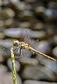 Dragonfly, Kang, Razavi Khorasan Iran (سنجاقک، حشرات).jpg