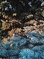 Drveće u parku Svetog Save u Nišu (16).jpg