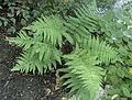 Dryopteris erythrosora kz2.jpg