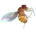 Dtestacea male 2-3.tif