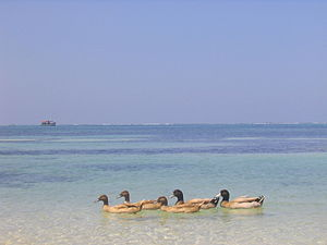 Lakshadweep - Ducks on a beach at Kavaratti, Lakshadweep