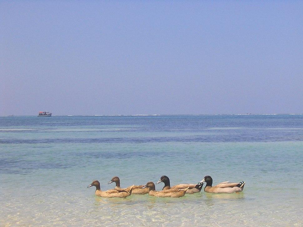 Ducks on a beach at Kavaratti, Lakshadweep