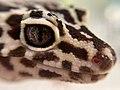 DuckyLeopardGecko.jpg