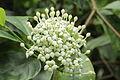 Duperrea pavettifolia-IMG 4432.jpg