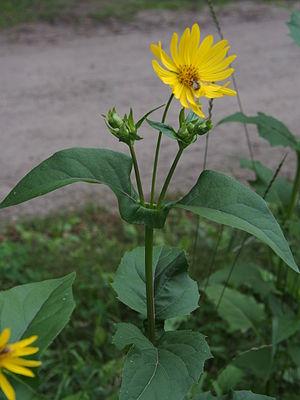 Silphium (genus) - Image: Durchwachsene Silphie (Silphium perfoliatum) Aug 13@03