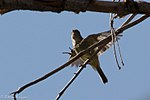 Dusky-Hammond's Flycatcher 2 - Hunter Canyon.jpg