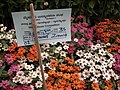Dwarf Zinnia from Lalbagh flower show Aug 2013 8230.JPG