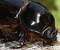 Dynastine scarab beetle - male. Rhinoceros beetle. Unicorn beetle (5530845561).jpg