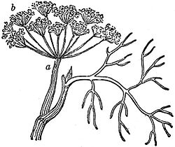 EB1911 Flower - compound umbel of Anethum graveolens.jpg