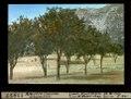 ETH-BIB-Ajaccio, Corsica, Orangenhain-Dia 247-11957.tif