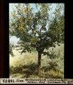 ETH-BIB-Sion, Aprikosenbaum Château-Neuf-Dia 247-12873.tif
