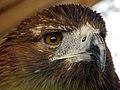 Eagle عقاب 09.jpg