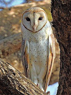 Owl order of birds