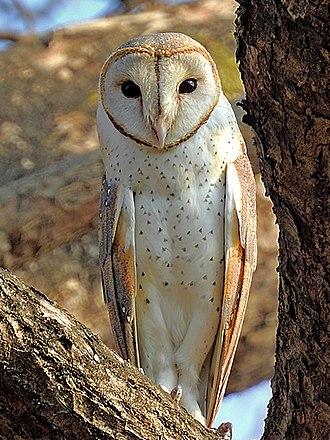 Owl - Eastern barn owl  (Tyto javanica stertens)   Mangaon, Maharashtra, India