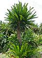 Eastern Cape Giant Cycad (Encephalartos altensteinii) (32984356245).jpg