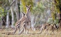 Eastern Grey kangaroo, Majura Nature Reserve ACT 02.jpg