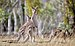 Eastern Grey kangaroo, Majura Nature Reserve ACT 02.jpg