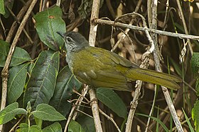 Eastern Mountain-Greenbul - Tanzania2008-03-01 0132 (16844631597).jpg