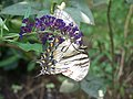 Eastern Swallowtail.jpg