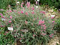 Ebenus cretica - Berlin Botanical Garden - IMG 8780.JPG