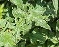 Echinops ritro in Jardin des 5 sens (5).jpg