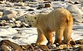 Eclair the polar bear (6356263049).jpg