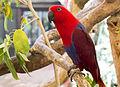 Eclectus Parrot female 1 (14950411183).jpg