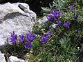 Edraianthus graminifolius PID1418-6.jpg