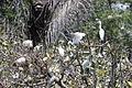 Egretta dimorpha (22204549501).jpg