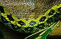 Elaphe taeniura friesei Ile aux Serpents 201108 1.jpg