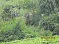 Elephant on meghamalai.jpg