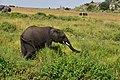 Elephants in the Serengeti (4) (28578977916).jpg