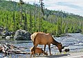 Elk at Gibbons River, Yellowstone 2011 (16250038729).jpg