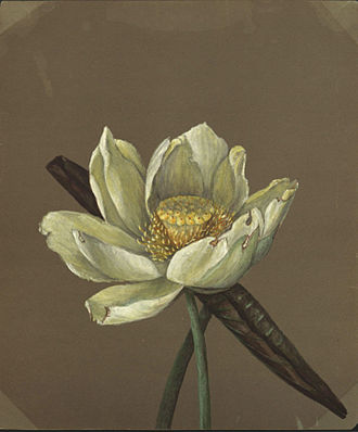 Emma Roberts (artist) - Nelumbo Great Yellow (1885)