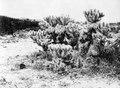 En koralliknande kaktus, Opuntia tesselata. Lokal, Tarijadalen, Bolivia. Tarijadalen - SMVK - 003663.tif