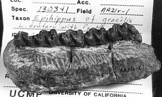 Epihippus - Epihippus gracilis jaw
