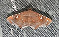 Episparis liturata Noctuidae by Dr. Raju Kasambe DSCN0249 (4).jpg