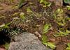 Eragrostis amabilis W IMG 3859
